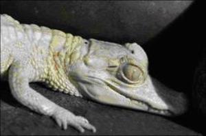 La policía busca siete caimanes albinos robados